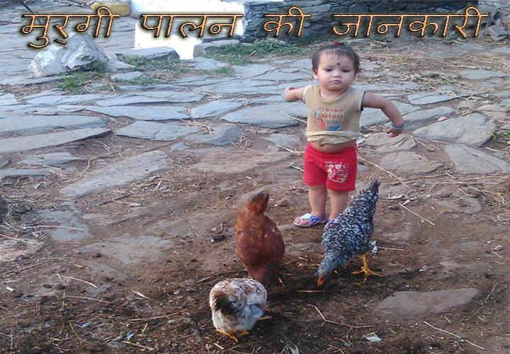 लेयर एवं ब्रायलर Murgi Palan की जानकारी। Information on Poultry Farming .
