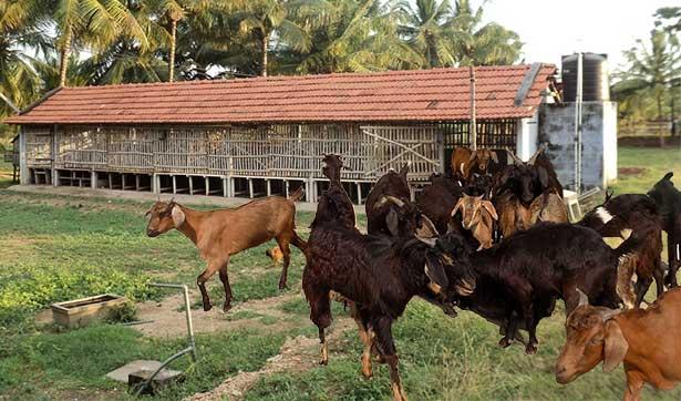 Bakri Palan Goat Farming