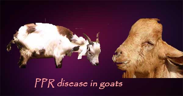 बकरी की बीमारी PPR disease