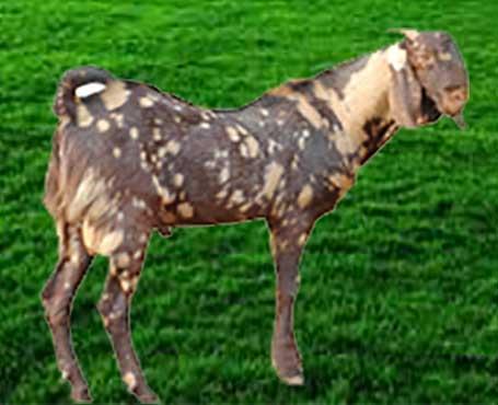 Sirohi-Goat for Goat Farming