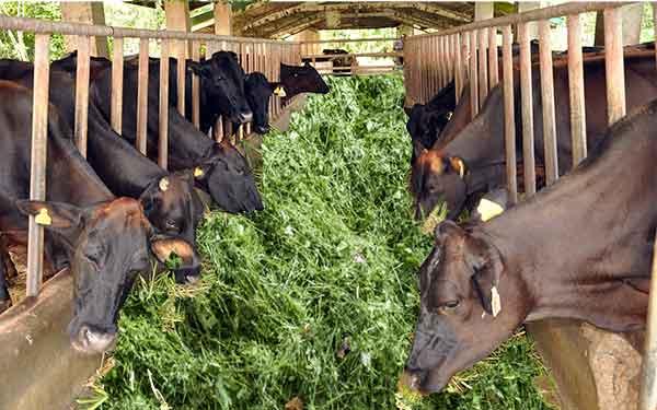 डेयरी फार्मिंग बिजनेस कैसे शुरू करें? How to Start Dairy Farming in India.