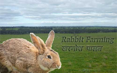 Rabbit farming Guide. खरगोश पालन कैसे शुरू करें।