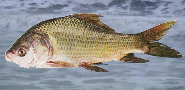 Catla-Fish