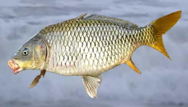 Common-Carp-fish