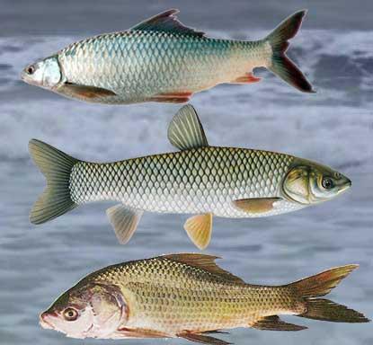 तालाबों के लिए उपयुक्त मछलियों की प्रजाति |