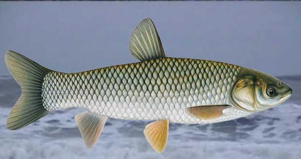 Grass-Carp-Fish