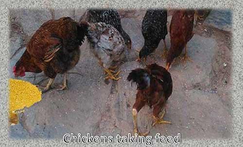 पोल्ट्री फीड बिजनेस कैसे शुरू करें | Poultry Feed Mill Business.