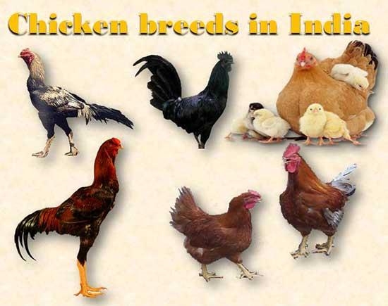 भारत में देशी मुर्गियों की नस्लें. Chicken Breeds in India in Hindi.