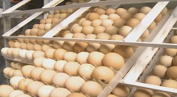 Chicken Hatchery Business की कुछ महत्वपूर्ण जानकारी |