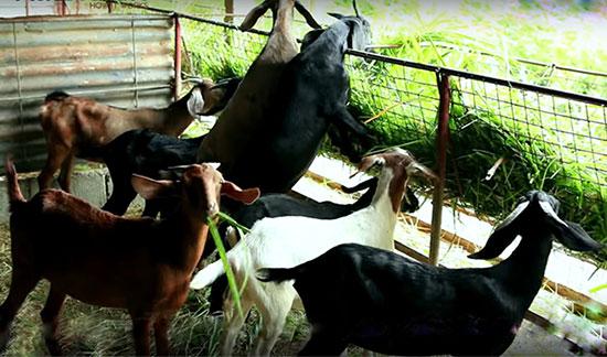 बकरी के भोजन की जानकारी | Food For Goats in India.