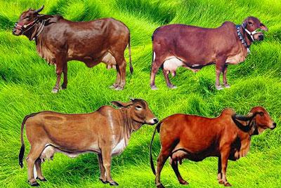 भारत में गायों की दुधारू नस्लें | Milch Breeds of Cow in India.