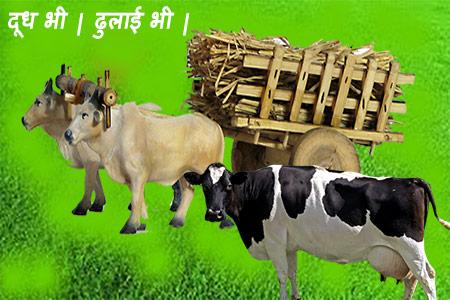 दोहरे उपयोग वाली गायों की नस्लें| Dual Purpose Breeds of cow.