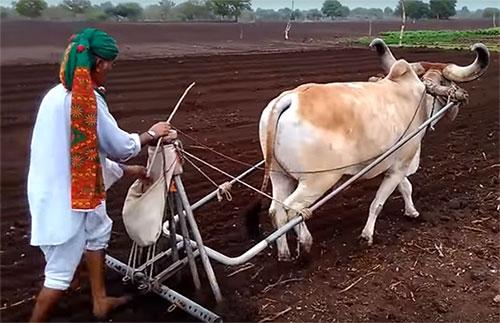 Draught Purpose Breeds गायों की बोझा ढोने वाली नस्लें