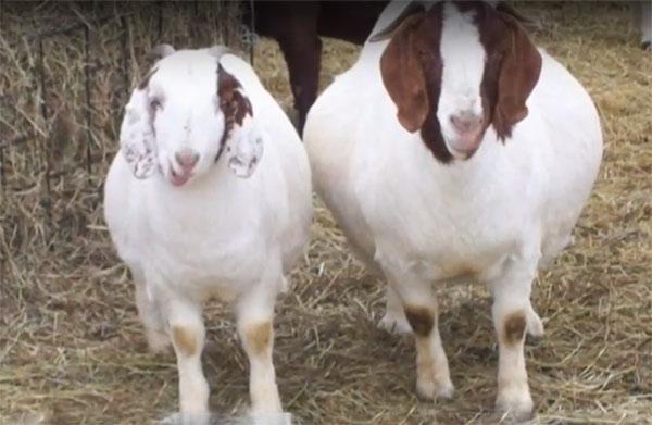 लक्षणों के आधार पर बकरी के रोगों की पहचान कैसे करें?