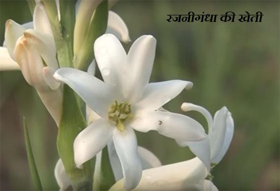 रजनीगंधा की खेती कैसे शुरू करें – Tuberose Farming In Hindi.