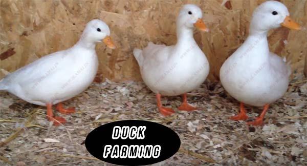 बतख पालन बिज़नेस कैसे शुरू करें? How to Start Duck farming Business in India in Hindi.
