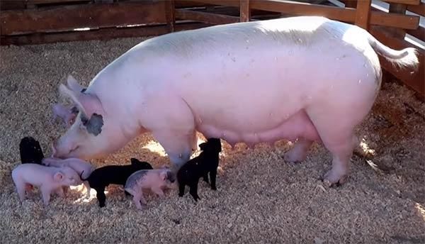 सूअर पालन कैसे शुरू करें?How to Start Pig farming Business in India in Hindi.