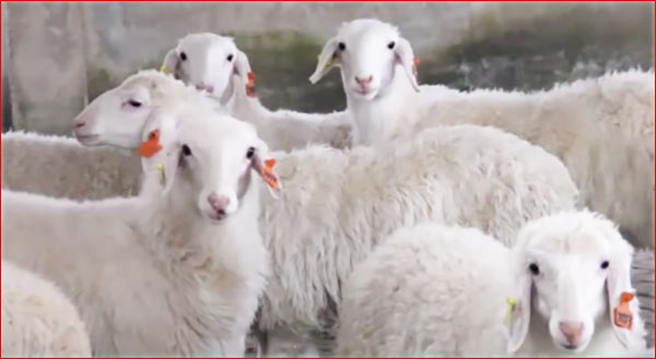 भेड़ पालन व्यापार। How to Start Sheep Farming Business in India.