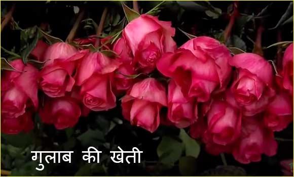 गुलाब की खेती कैसे शुरू करें। How to Start Rose Cultivation in India.
