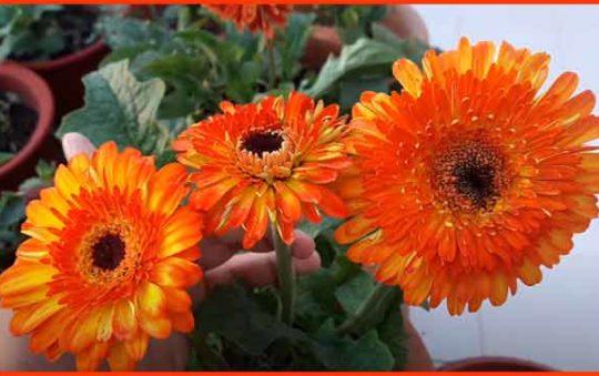 जरबेरा फूल की खेती कैसे शुरू करें। How to Start Gerbera Farming Business.